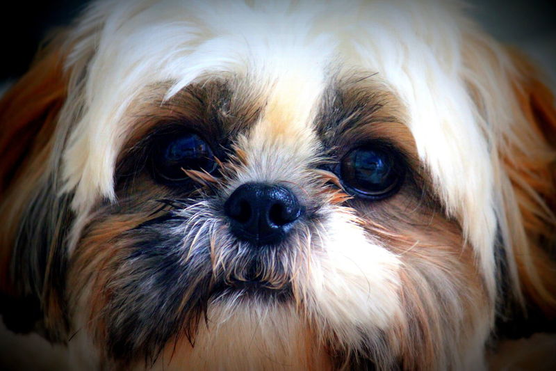 Animal Themes Close-up Dog Domestic Animals Fluffy No People Non-urban Scene One Animal Pets Shih Tzu First Eyeem Photo