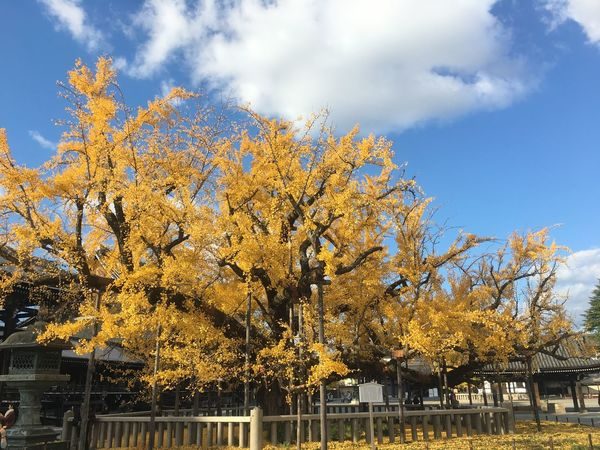 Autumn Leaves Japanese Temple Old Tree Autumn Beauty In Nature Ginkgo Tree Nishihonganji Yellow