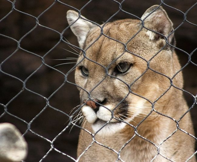 Animal Animal Head  Animal Themes Animal Wildlife Animals In Captivity Animals In The Wild Barrier Boundary Cage Chainlink Fence Close-up Feline Fence Focus On Foreground Mammal Metal No People One Animal Vertebrate Whisker Zoo
