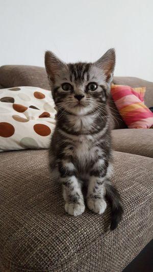 Pets Domestic Cat Cat Looking At Camera Silver-tabby British Shorthair Feline Kitten Whiskascat