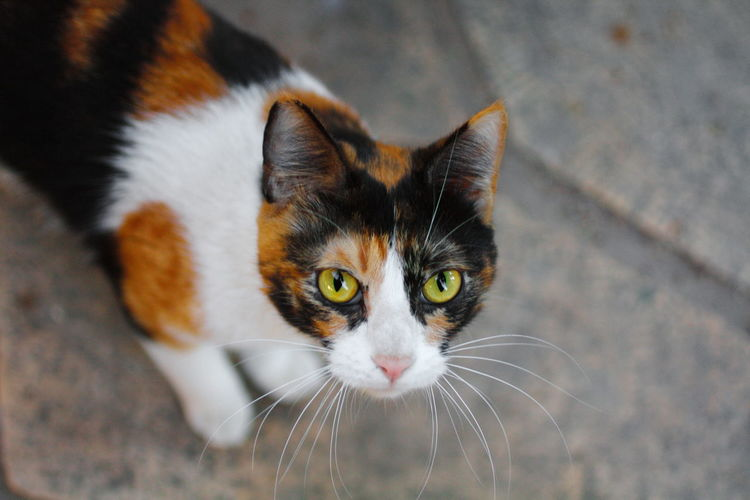 Agressive Agressive Cat Animal Colour Animal Eye Animal Head  Animal Themes Cat Close-up Eyes Cat Focus On Foreground Looking At Camera Multicolors Cat Pets Portrait Selective Focus Wild Cat