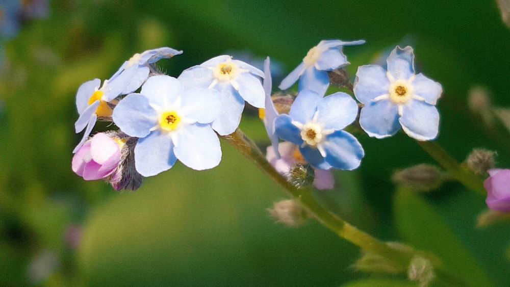 Freshness Close-up Beauty In Nature Outdoors No People Day Springtime Bavaria Germany Vergissmeinnicht Flower Flowers Forget Me Nots