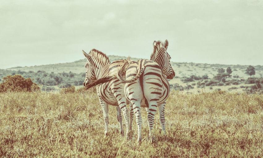 Zebras Standing On Field Against Sky