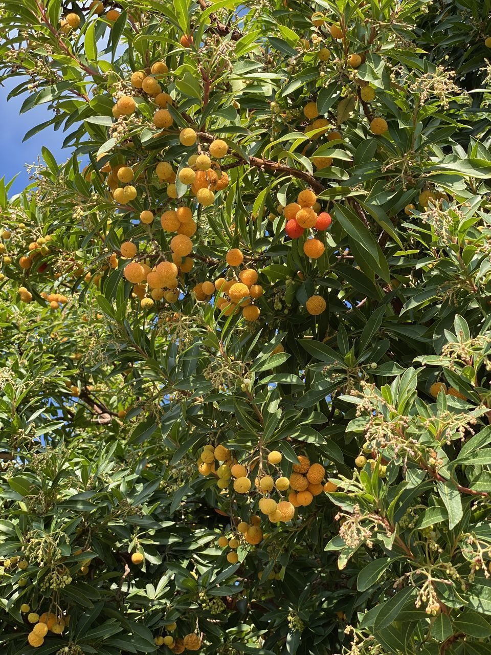 food, fruit, growth, food and drink, healthy eating, plant, tree, leaf, freshness, plant part, fruit tree, nature, green color, orange color, orange tree, beauty in nature, citrus fruit, day, orange - fruit, low angle view, no people, orange, outdoors, ripe, rowanberry
