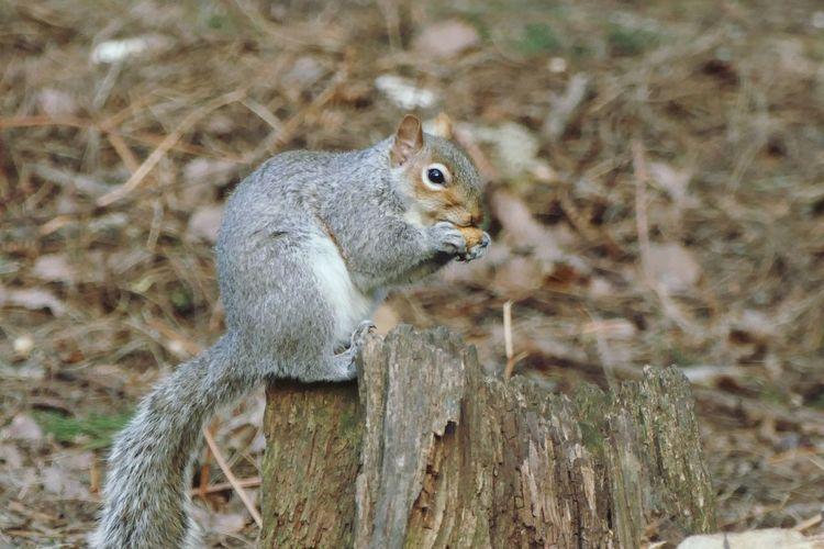 Nature Eichhörnchen Squirrel English Squirrel Nut Animal