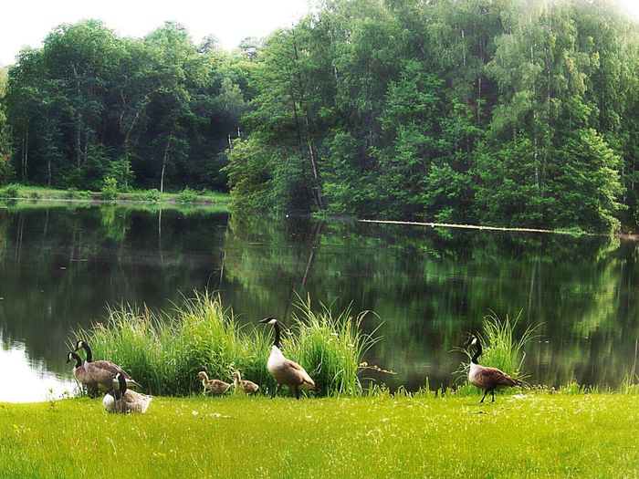 My Geese Family In The Foregroundmeanwhile the Goslings are as big as ducks and they trust me and my dog - they don't run into the water anymore, when we get closer 😀 Geesepond Geese And Goslings Dark Forest In The BackgroundReflections In The Water Pure Nature Lakeshore Lakeside Lakeview Birkenweiher Langenselbold Germany🇩🇪 Showcase June