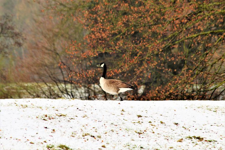 View of canada goose