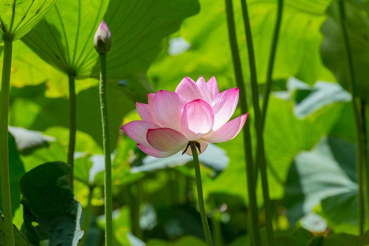Lotus flower at