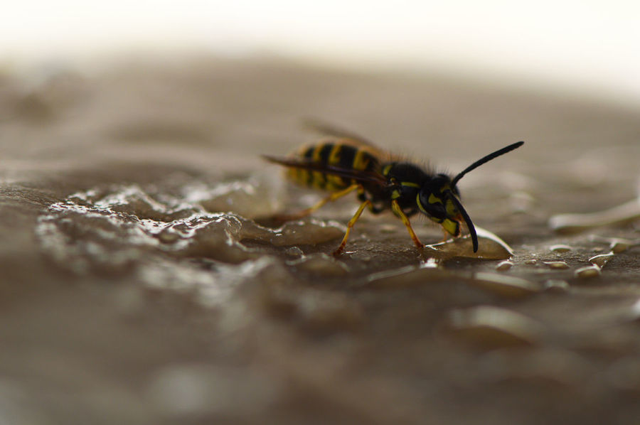 Something sweet in between?... EyeEm Nature Lover Feeding  Icing Macro Insects Sugar Wildlife Photography Animal Themes Animal Wildlife Animals Baking Paper Close-up Day Drinking Indoors  Insect Insects  Macro Nature No People One Animal Selective Focus Visitor Wasp Wasp Macro Wasps