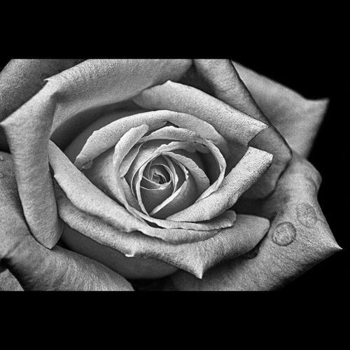Bagnami Igfriends_piemonte Photooftheday Rosé Rosa Green_green Torino Italia Exploring_shotz Rsa_nature Instaitalia Blackandwhite Macro Love Amore Naturelovers Naturelover Nature_perfection Nature_shooters Nature_seekers Natureonly Natureporn Blackandwhiteonly Blackandwhite Blackandwhitephotography Blackandwhitephoto turin italy bestoftheday rsa_dark