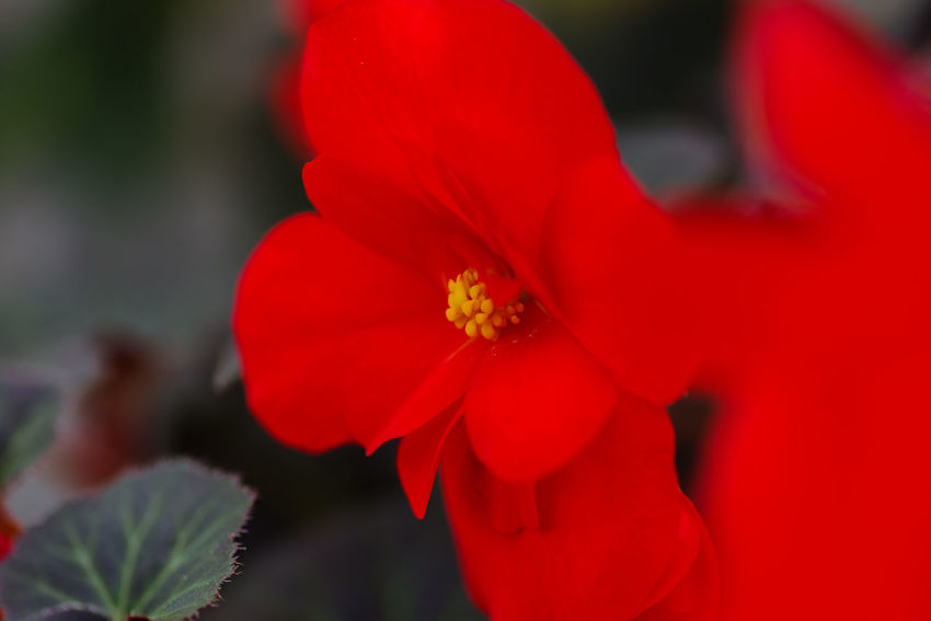 Flowering Plant Flower Plant Vulnerability  Fragility Freshness Beauty In Nature Petal Red Close-up Growth Inflorescence Flower Head No People Nature Pollen Selective Focus Focus On Foreground Day Stamen
