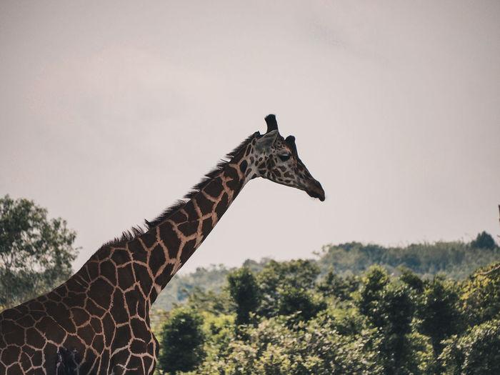 Standing Tall Coron, Palawan Travel Artsofvisuals BestofEyeEm Earth Tealandorange Philippines Vivid Animals In The Wild Animals Tree Safari Animals African Elephant Giraffe Sky Landscape Safari Savannah Nature Reserve