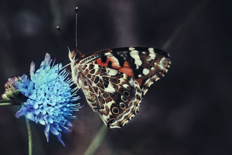 Insect Butterfly - Insect Animal Themes One Animal Animals In The Wild Animal Wing Nature Wildlife Butterfly Close-up Flower Fragility Beauty In Nature No People Animal Wildlife Outdoors Day Perching Pollination Spread Wings