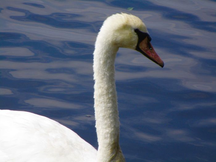 Animal Themes Swan One Animal Bird White Color Water Bird Swimming Water Close-up No People