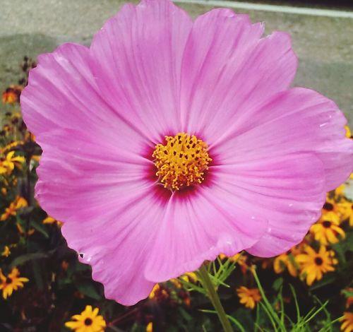 Colour Of Life Colorado Boulder Flower Purple Yellow Flowers Nature Pretty