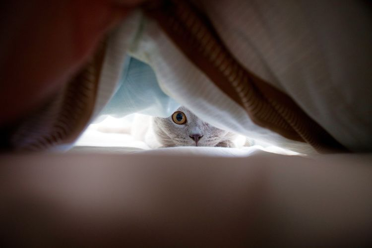 British Shorthair Cat Hidden Bed