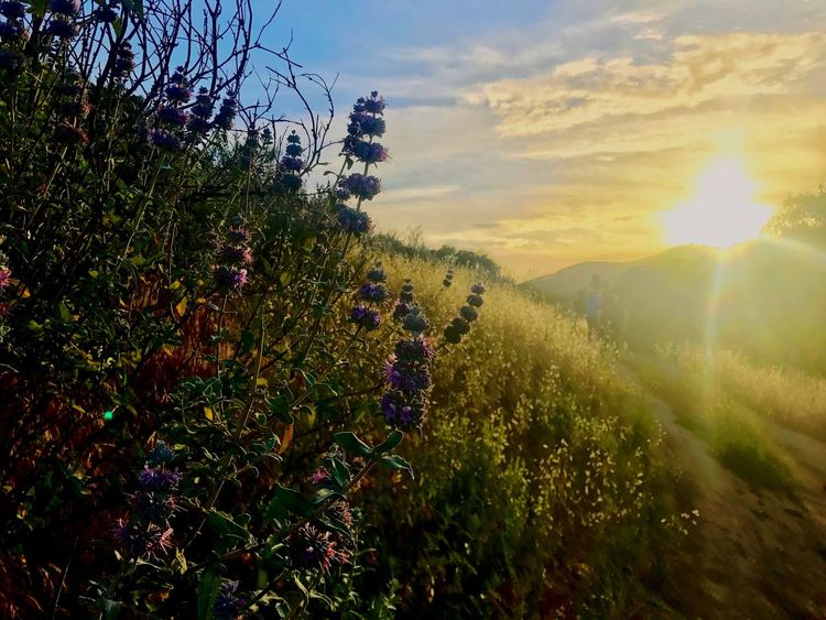 El Scopion Field Flower Beauty In Nature Tranquility Purple Flower Purple Flowers Sunset Landscape Fresh The Week On EyeEm