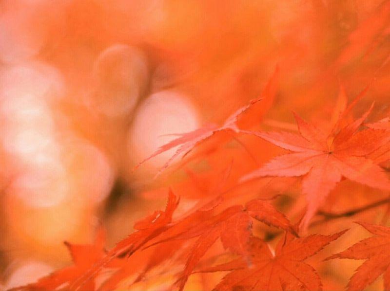 秋燃ゆる 2015.11.01 Autumn Autumn Colors Autumn Leaves Bokeh Bokeh Photography Bokeh Love Oldlens Industar61