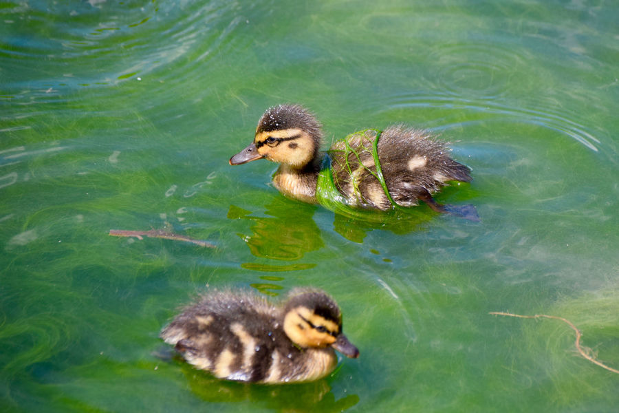 Animal Family Animal Themes Beauty In Nature Close-up Day Duckling Green Color Lake Mallard Duck Nature No People Outdoors Rippled Swimming Turtle Water Water Bird Wildlife Young Animal Young Bird