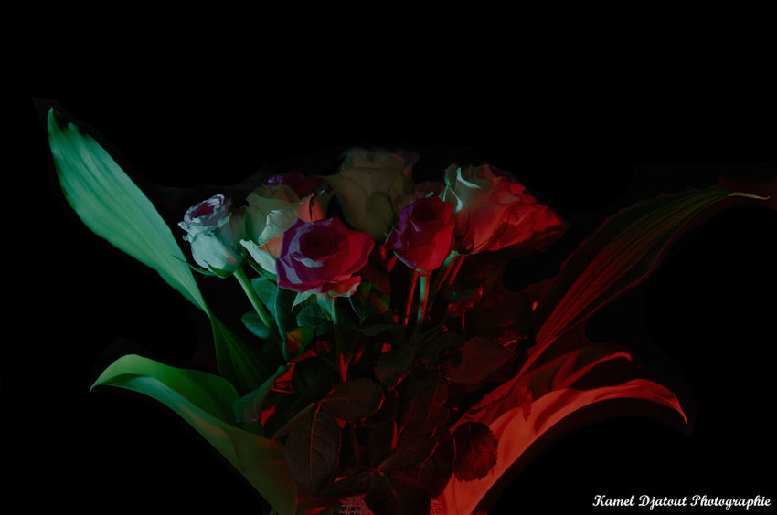 Beauty In Nature Black Background Flower Flower Head Fragility Nature Night Petal Studio Shot