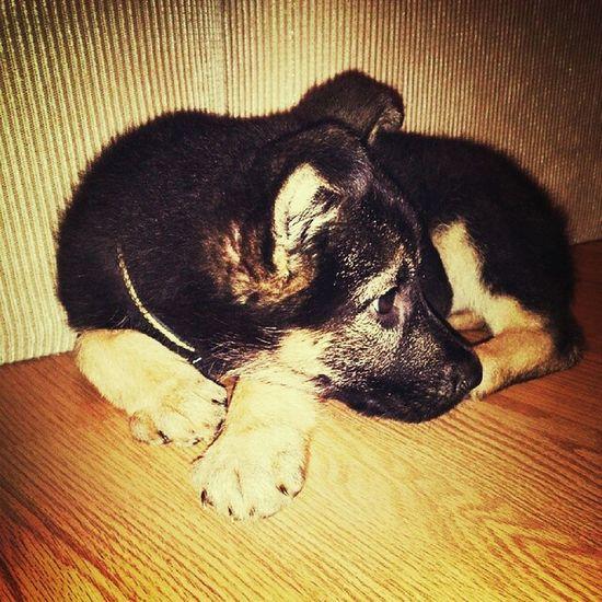 my sweet doughter. Puppy Mischa Germanshephard GSD