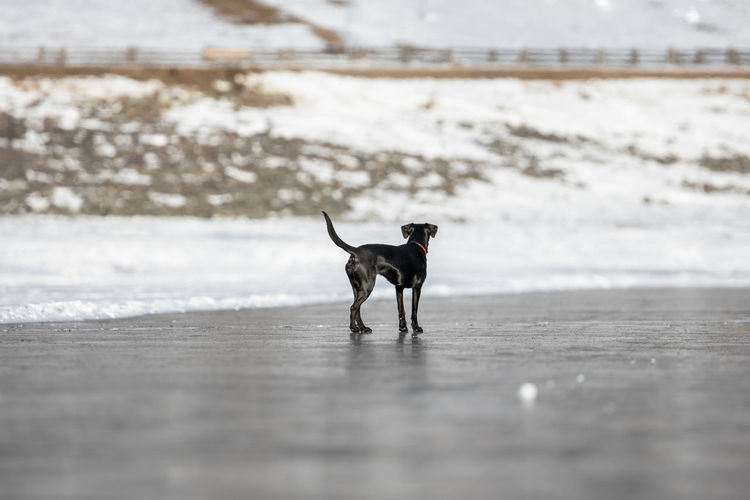 Animal Themes Beach Beauty In Nature Black Dog Black Ice Cold Temperature Day Dog European Alps Frozen Lake Full Length Ice Lake Landscape Mammal Nature No People One Animal Outdoors Pets Rear View Slippery Snow Water Winter