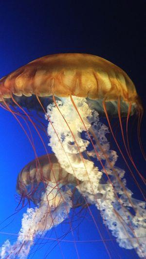 Jellyfish Omaha Zoo Sea Life Underwater Jellyfish Aquarium Close-up First Eyeem Photo EyeEmNewHere