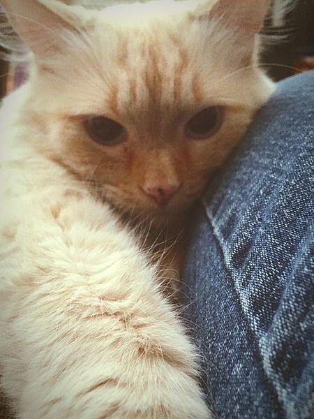 Ragdollcat Ragdoll Cat Selfie Cat