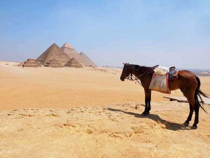 Horse with the piramids of Giza, Egypt Cairo Egypt Egypt Giza Giza Pyramids Of Egypt Giza, Caïro, Egypt Ancient Architecture Ancient Civilization Ancient Civilizations Animal Animal Themes Arid Climate Desert Domestic Animals Mammal Nature Outdoors Pyramid Sky The Past Working Animal