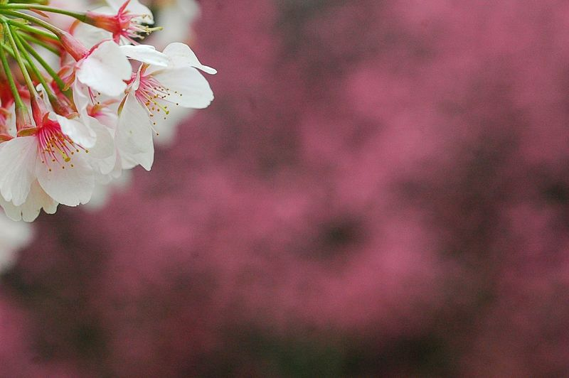 Showcase March Spring Colours Bokeheffect Spring Time 春 EyeEm Nature Lover Bokeh Flowers Spring 桜 Blossom Pink Colorful Japan Cherry Blossoms Sakura