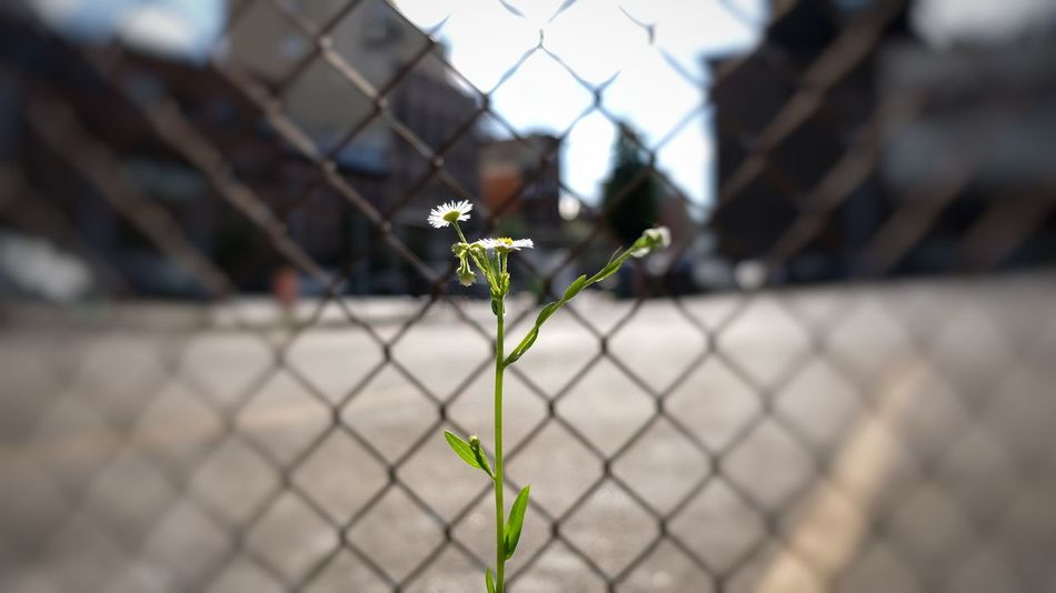 A weed grows in Brooklyn. Fuji Xt20 Photography Outdoors Landscape Blurred Background Focus On Subject Flower Protection Chainlink Fence Close-up Sky
