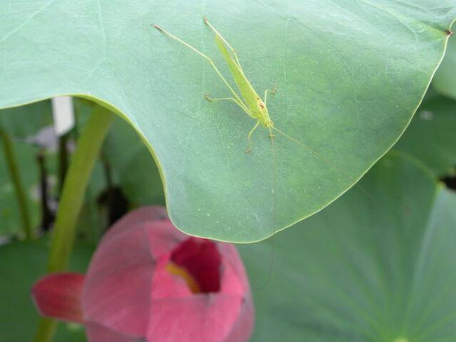 バッタと蓮 Lotus Glasshopper Japan