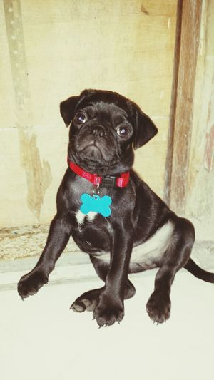 Babe Pug I ❤my Pugs I Love My Dog My Dog Is A Model