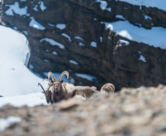 View of ibex on land