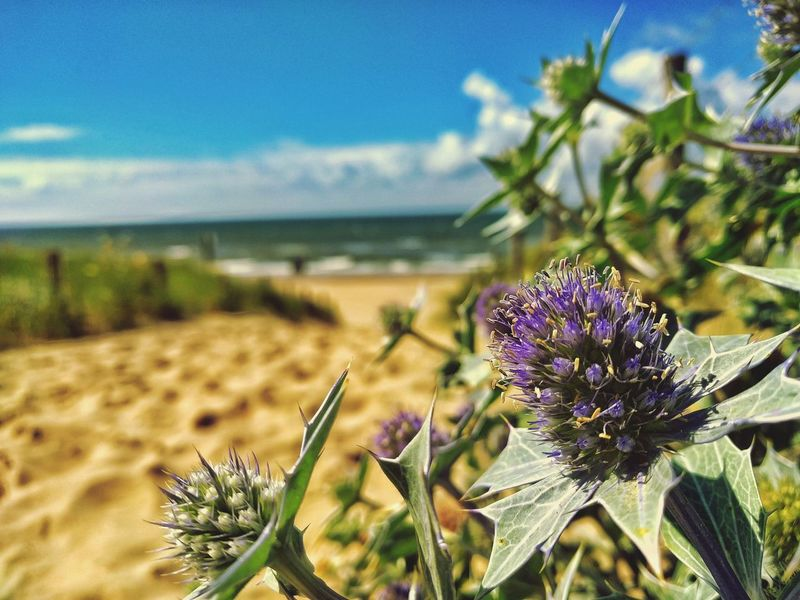 Sea Flower Beach Plant Growth Horizon Over Water Sky Beauty In Nature Shore Sand Close-up Focus On Foreground Flower Head Nature Freshness Petal Fragility Water Scenics Purple Holland Nordwijk