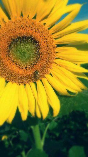 Taking Photos Sunflower Paradise