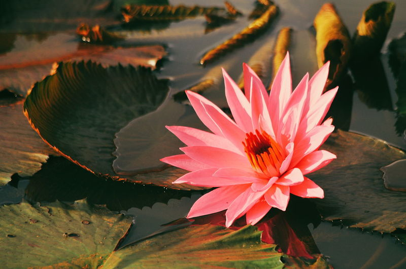 Water Lily on Lake Flower Collection Lotus Flower EyeEmNewHere Pink Color Landscape Pink Flower EyeEm Selects Flowers Flower Head Flower Water Lotus Water Lily Leaf Water Lily Floating On Water Close-up Plant Lily Pad Pollen Pond Eastern Purple Coneflower Water Plant Blooming Lotus In Bloom