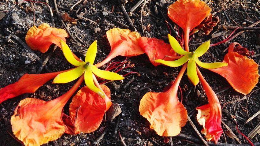 凤凰花 Flower Head Flower Leaf Red Close-up Plant