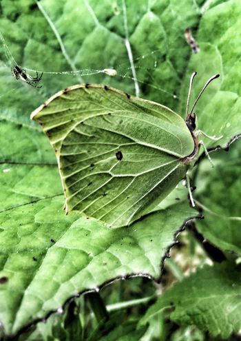 Butterfly Animal Themes Leaf Green Color Animals In The Wild Insect Nature Close-up Beauty In Nature Iphonephotography Wilderness