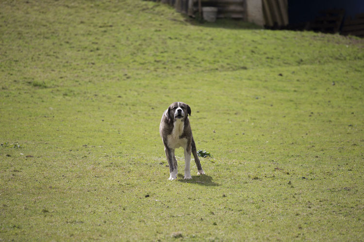 Full length of a dog on field