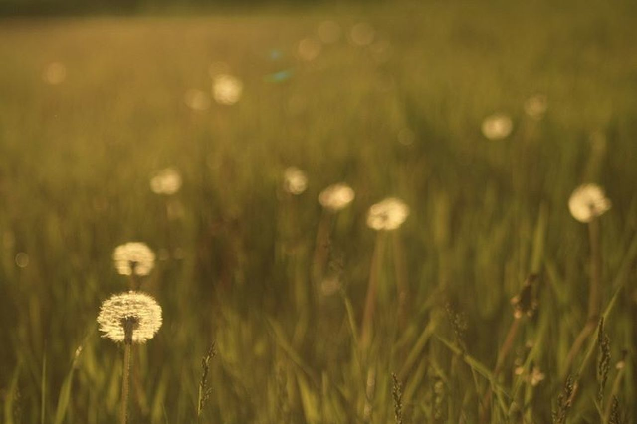 grass, growth, nature, plant, field, flower, outdoors, meadow, no people, summer, green color, cereal plant, freshness, day, close-up, wheat, beauty in nature, defocused, fragility, flower head