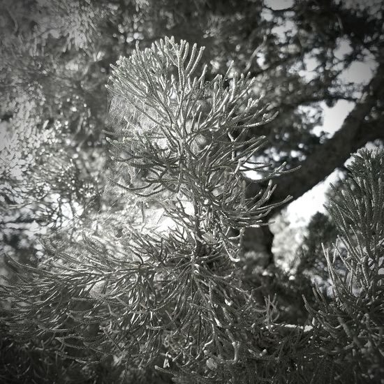 Nature Growth Tree Outdoors Day Plant Close-up Beauty In Nature No People Nature B&w Black And White Photography Blackandwhite Black And WhiteTranquility Black & White Blckandwhite Sunlight Sky Freshness