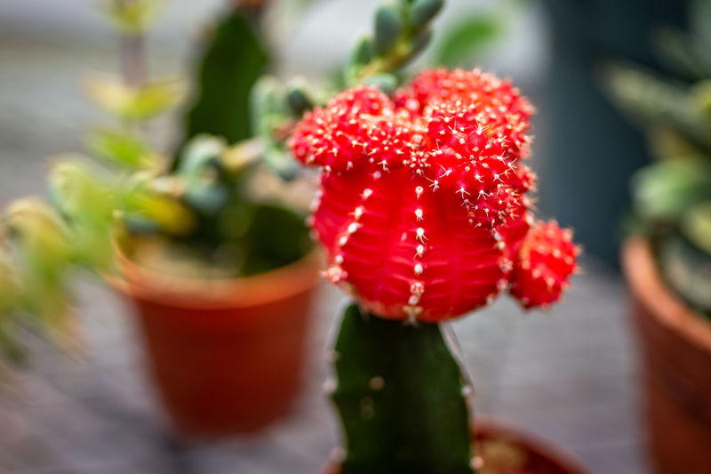 Red Freshness Close-up Growth Plant Food And Drink Beauty In Nature Selective Focus Berry Fruit Fruit Food Nature No People Flower Healthy Eating Flowering Plant Day Focus On Foreground Potted Plant Vulnerability  Outdoors Ripe Cactus Cactus Flower