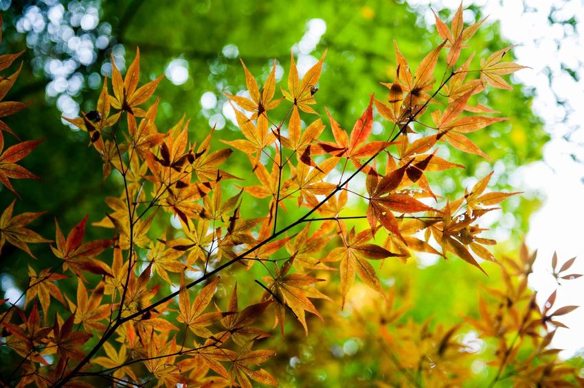 Golden Japanese maple leaves during autumn Autumn Leaf Nature Growth Change Day Beauty In Nature Maple Leaf No People Outdoors Close-up Japan Maple Tree Nature Fall Golden
