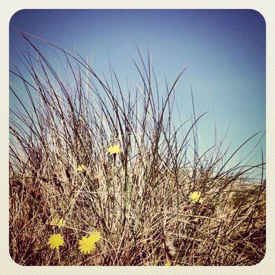 Sea #weed with little #dandelions on Malahide #beach ? #jj_forum #earlybirdlove #jj #bluesky Alaniskopop Beach Dandelions Popular Weed Bluesky Ig Jj  Earlybirdlove Jj_forum Popularpage