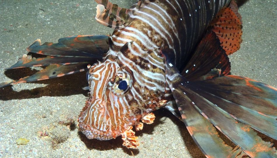Diving Lionfish In The Sea Animal Themes Animal Wildlife Animals In The Wild Close-up Diving Photography Divingphotography Nature No People One Animal Outdoors Sea Sea Life UnderSea Water