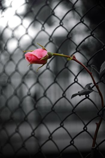 Close-up of rose on chainlink fence