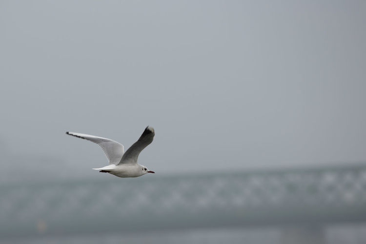 Flying Animal Wildlife Bird Animal Spread Wings One Animal Water Sky Copy Space Seagull Clear Sky Horizon Over Water Mid-air Nature Horizon No People Outdoors Bridge