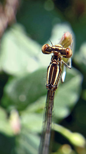 Platycnemis Pennipes - Serchio River Animalia Arthropoda Beauty In Nature Close-up Dragonfly Dragonfly💛 Hexapoda Insect Insect Close-up Insect Collection Insect Macro  Insect Papparazzi Insecta Invertebrate Nature Odonata Platycnemis Pennipes Zoology
