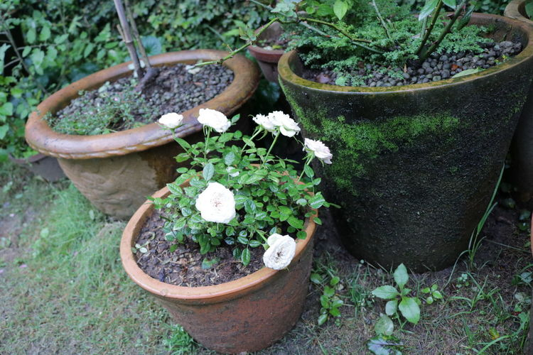 In spring Growth Plant Nature No People Outdoors Day Garden Rose - Flower Exterior Villa Hostel Beauty In Nature Flowering Plant Gardening Flower Pot Planting Freshness Flower Potted Plant